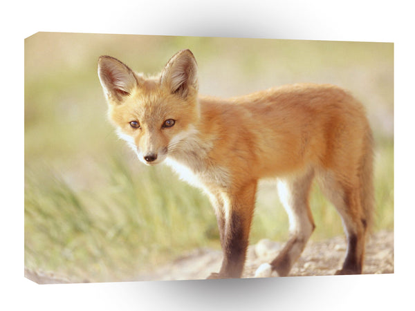 Foxs Red Indiana A1 Xlarge Canvas