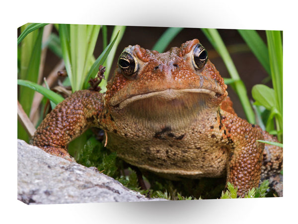 Frog American Toad A1 Xlarge Canvas