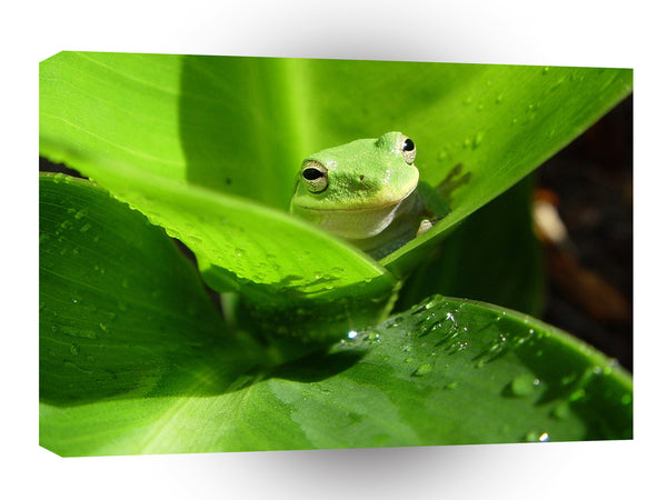 Frogs Green Leaves A1 Xlarge Canvas