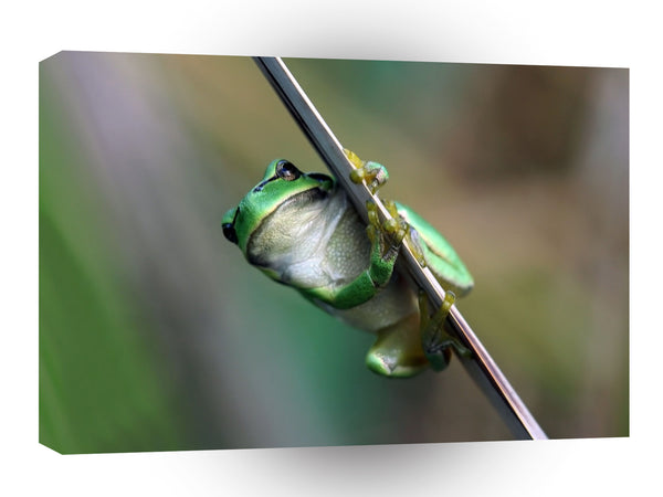Frogs Holding On Tight A1 Xlarge Canvas