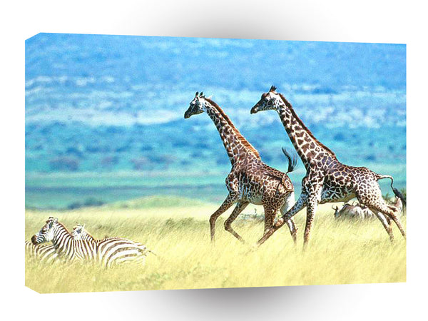 Giraffe Big Run On The Field A1 Xlarge Canvas