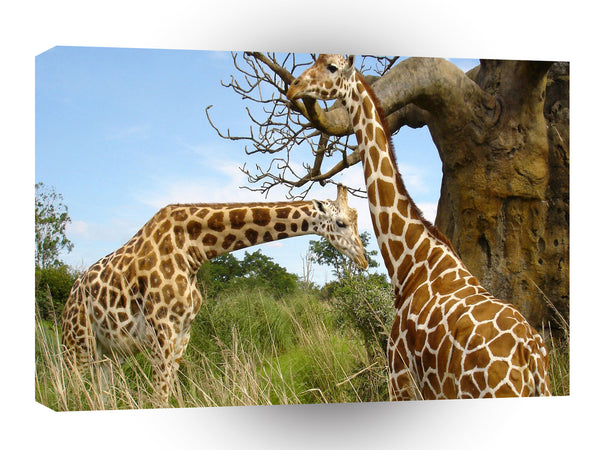 Giraffe Big Tree Gathering A1 Xlarge Canvas