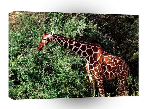 Giraffe Having A Ball A1 Xlarge Canvas