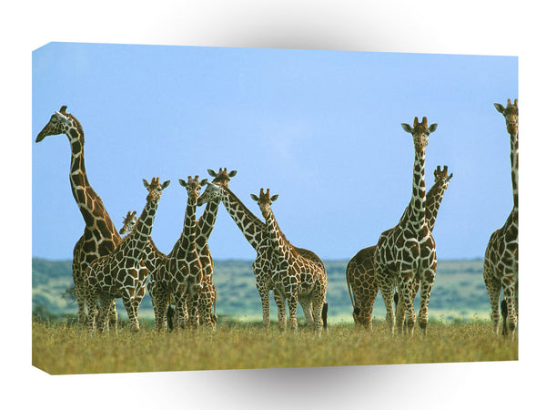 Giraffe Herd In Field Kenya Africa A1 Xlarge Canvas
