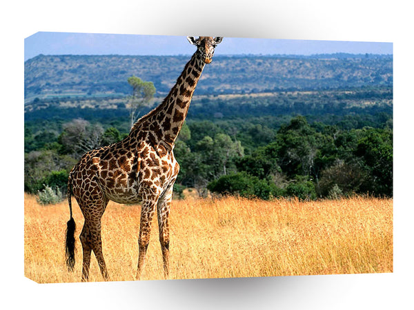 Giraffe Mr Big Masai Reserve A1 Xlarge Canvas