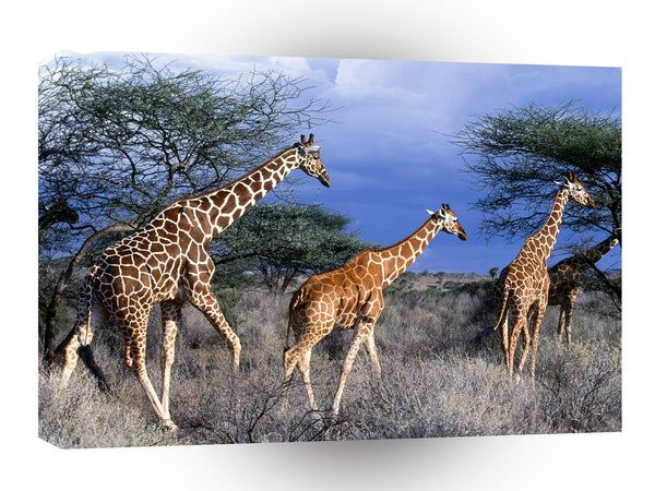 Giraffe Reticulated Day Kenya Africa A1 Xlarge Canvas
