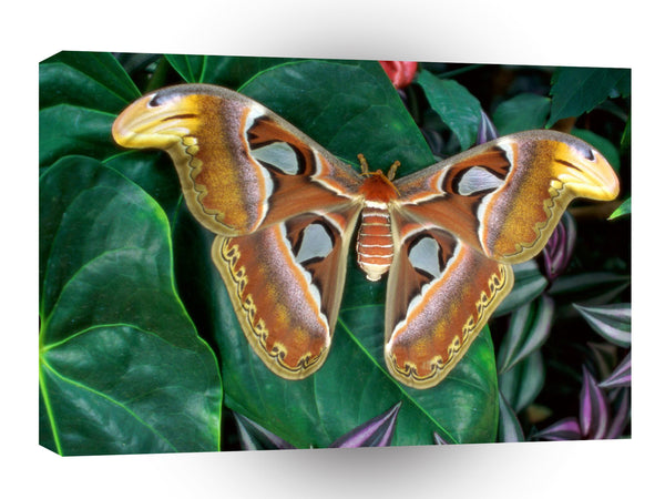 Insect Atlas Silk Moth A1 Xlarge Canvas