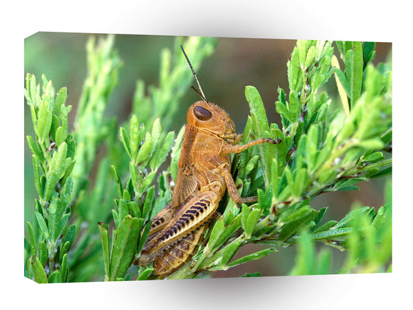 Insect Grasshopper In Meadow A1 Xlarge Canvas
