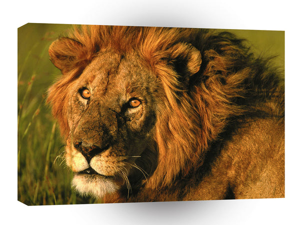Lions A Regal Profile A1 Xlarge Canvas