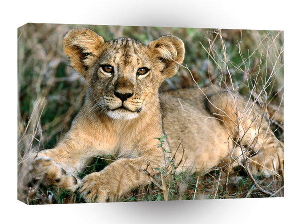 Lions African Cub Relaxing Africa A1 Xlarge Canvas