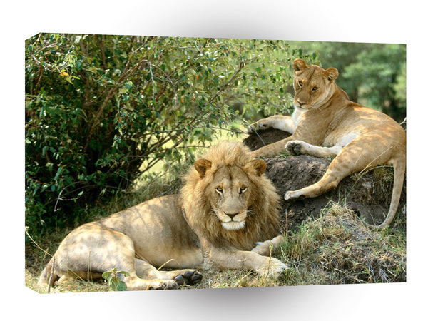 Lions African Lazy Pose A1 Xlarge Canvas