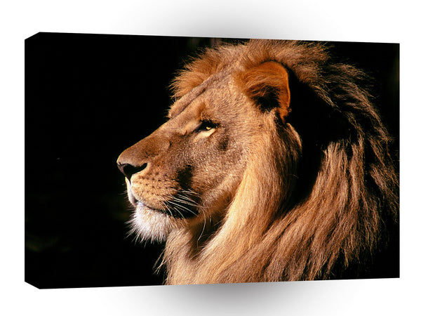 Lions African Male Kenya A1 Xlarge Canvas