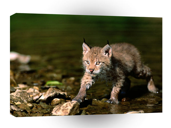 Lynx Cautious Approach Eurasian A1 Xlarge Canvas