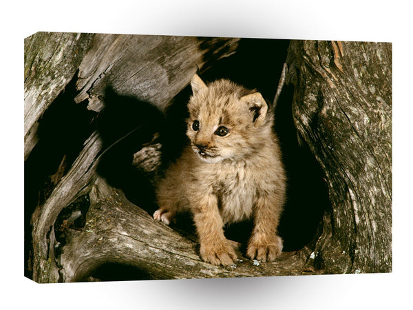 Lynx Cub Loomis State Forest A1 Xlarge Canvas