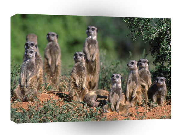 Meerkats Afternoon Watch A1 Xlarge Canvas
