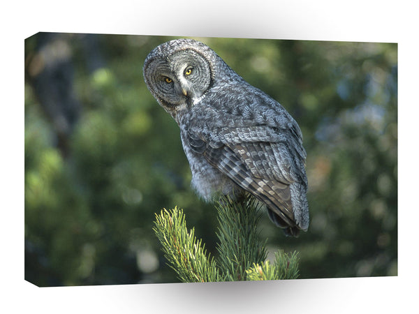 Owl Great Grey Wyoming A1 Xlarge Canvas