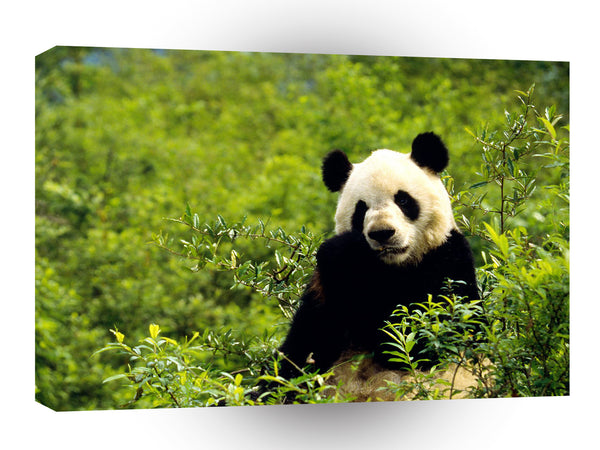 Panda Giant China A1 Xlarge Canvas