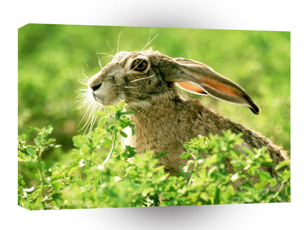 Rabbit Black Tailed Jack A1 Xlarge Canvas