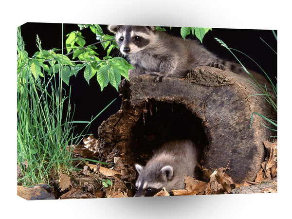 Raccoon Babies A1 Xlarge Canvas