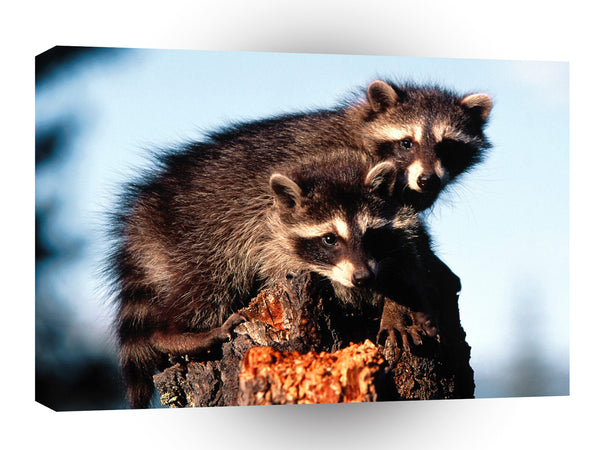 Raccoon Little Rascals A1 Xlarge Canvas