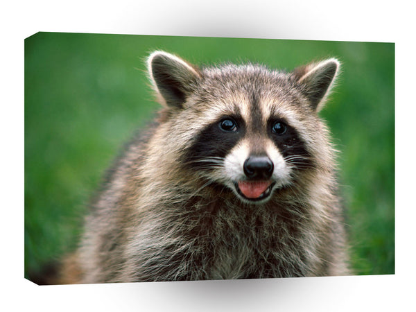 Raccoon Looking For Handouts A1 Xlarge Canvas