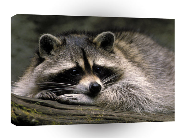 Raccoon Ready For A Nap A1 Xlarge Canvas
