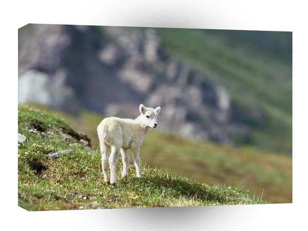 Sheep Arctic Wildlife Refuge Alaska A1 Xlarge Canvas