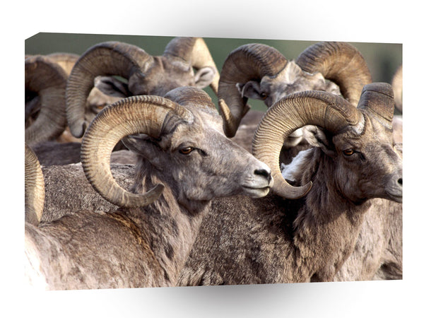 Sheep Big Horn A1 Xlarge Canvas