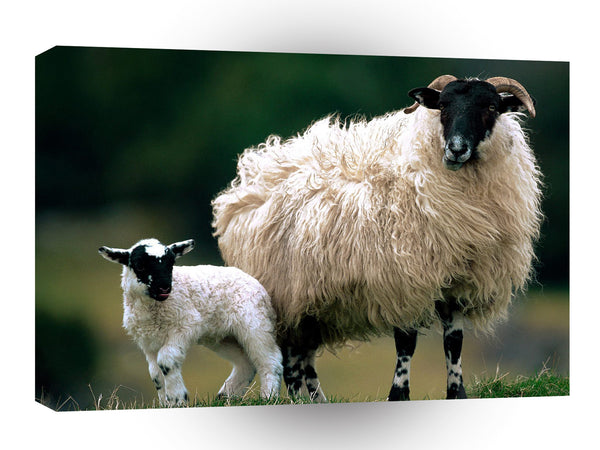 Sheep Blackface With Scotland A1 Xlarge Canvas