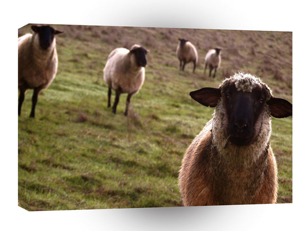 Sheep Curiosity Gathering A1 Xlarge Canvas