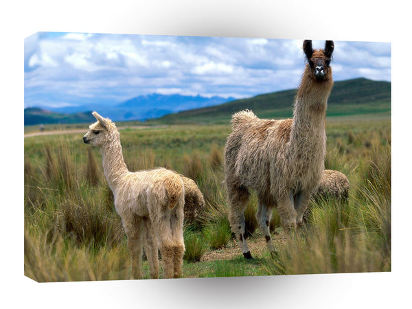 Sheep Llamas Andes Mountains A1 Xlarge Canvas