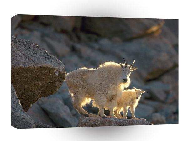 Sheep Nanny And Kid Mountain Goats A1 Xlarge Canvas