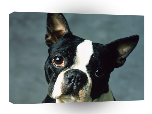 Terriers Boston Looker A1 Xlarge Canvas