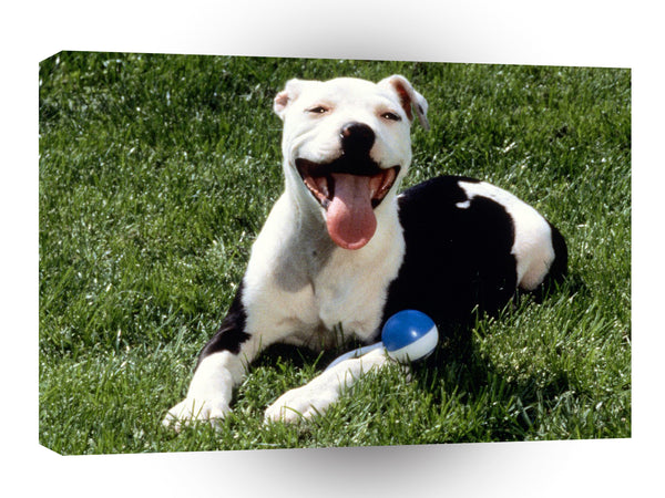 Terriers Satisfied American Pit Bull A1 Xlarge Canvas