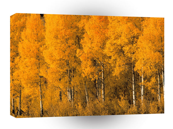 Tree Aspen Autumn Montana A1 Xlarge Canvas