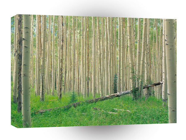 Tree Aspen Grove Colorado A1 Xlarge Canvas