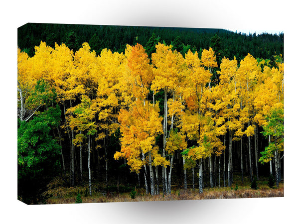 Tree Autumn Birch A1 Xlarge Canvas