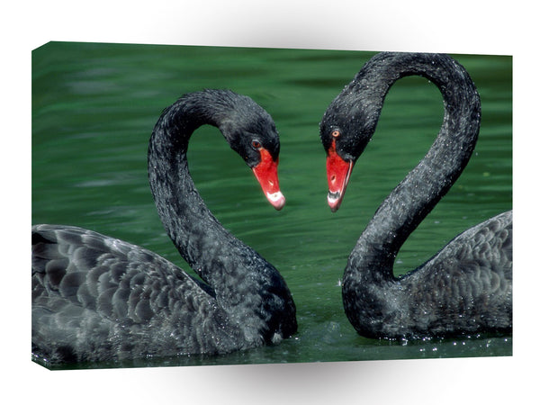 Valentines Day Love Birds Black Swans A1 Xlarge Canvas