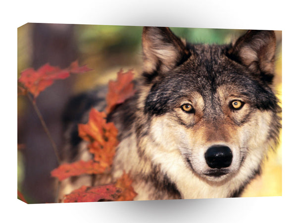 Wolf And Autumn Colors A1 Xlarge Canvas