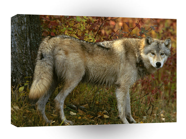 Wolf Gray In Autumn A1 Xlarge Canvas