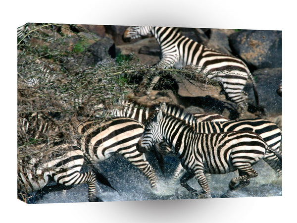 Zebra Exodus Across River Burchell A1 Xlarge Canvas