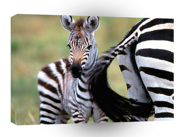 Zebra Natural Burchell Kenya Africa A1 Xlarge Canvas
