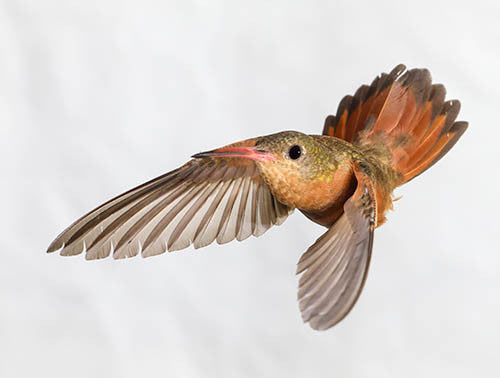 The 'Bird Brain' of a Cinnamon Hummingbird