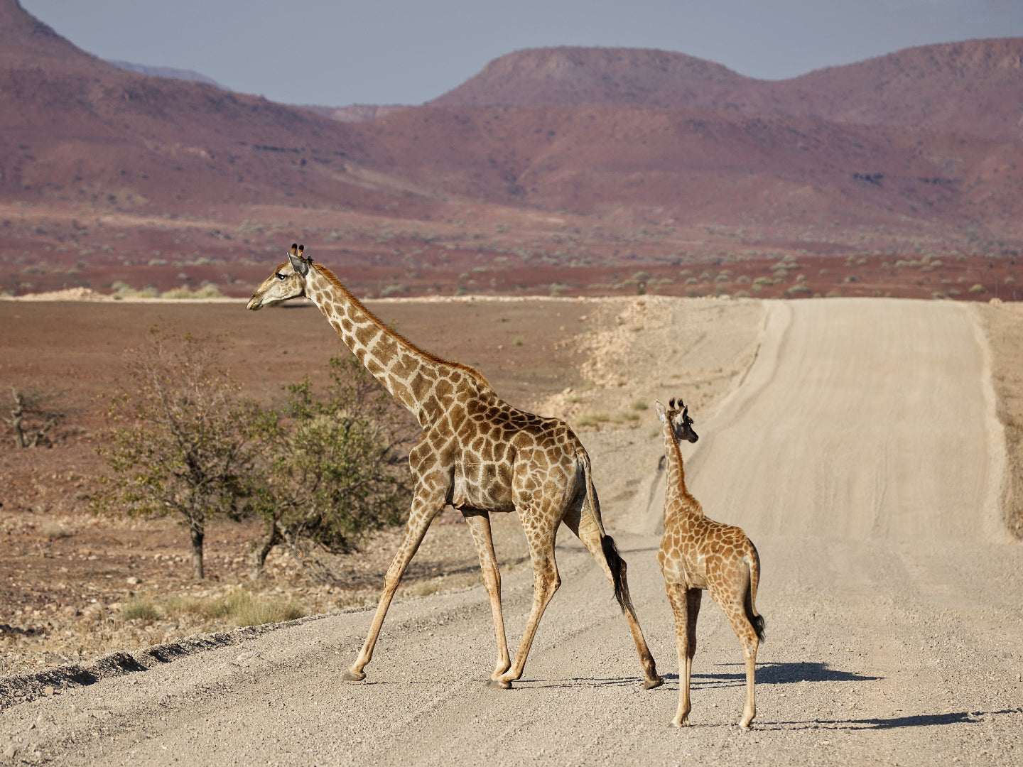 Giraffes and Impalas