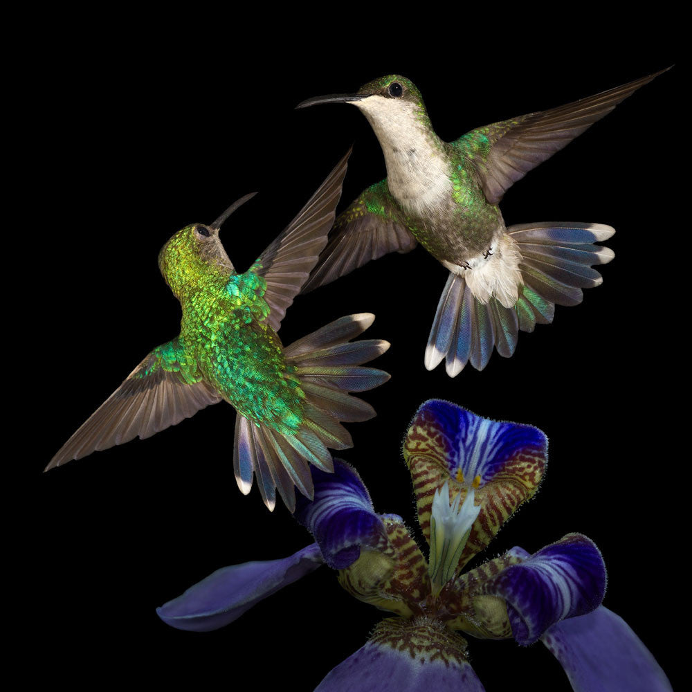 Violet-Crowned Woodnymph female hummingbirds in flight with an orchid