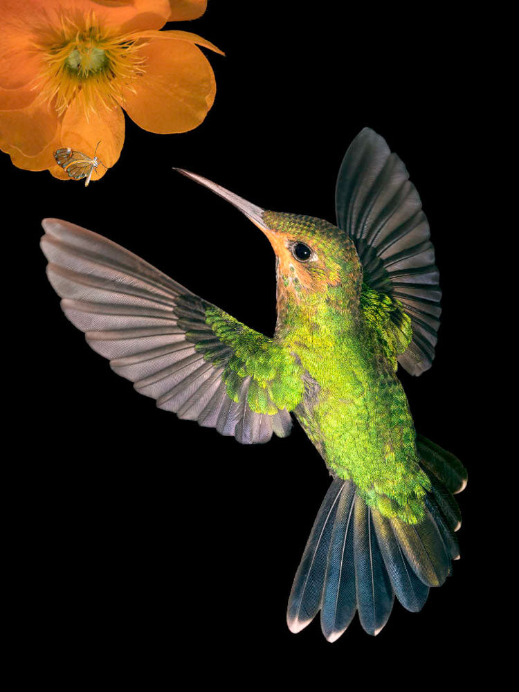 Juvenile Green-crowned brilliant hummingbird in flight