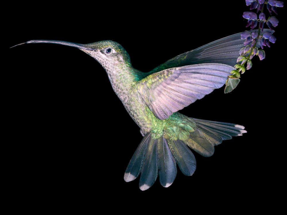 female Magnificent or Rivoli's Hummingbird in flight