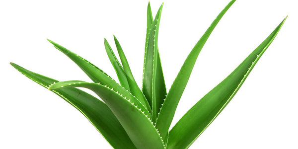 We Love Aloe Vera Much