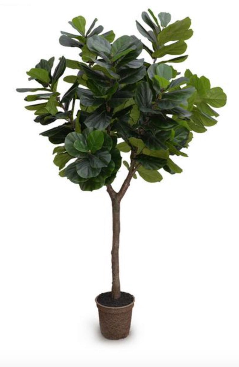 Fiddle Leaf Fig Tree, 10u0027