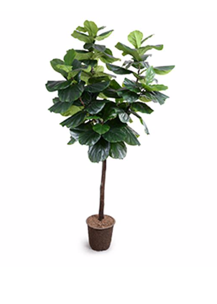 Fiddle-Leaf Fig Tree 2, 7.5'